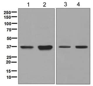 Western blot - Anti-PIM2 antibody [EPR6988] (ab129193)
