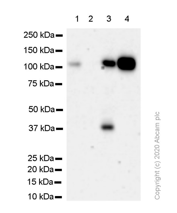 Western blot - Anti-KDM1/LSD1 antibody [EPR6825] - Nuclear Marker and ChIP Grade (ab129195)