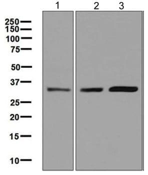 Western blot - Anti-Olig3 antibody [EPR6511] (ab129197)