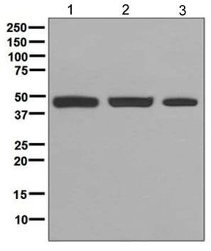 Western blot - Anti-PGD antibody [EPR6565] (ab129199)