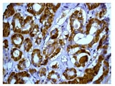 Immunohistochemistry (Formalin/PFA-fixed paraffin-embedded sections) - Anti-Peroxiredoxin 3/PRDX3 antibody [EPR8114] (ab129206)