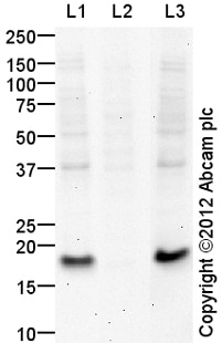 Western blot - Anti-Histone H3.3 antibody (ab129228)