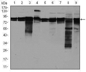 Western blot - Anti-eIF4B antibody [1F5] (ab129369)