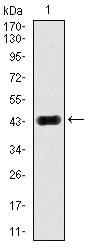 Western blot - Anti-JNK1 antibody [1E5] (ab129377)