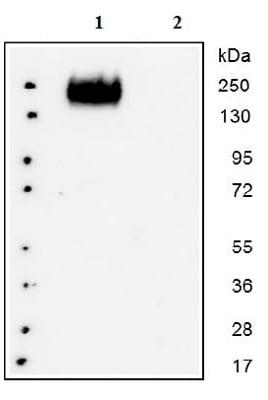 Western blot - Anti-CEACAM1 antibody (ab129385)