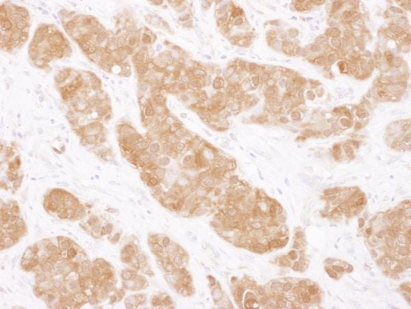 Immunohistochemistry (Formalin/PFA-fixed paraffin-embedded sections) - Anti-COMT antibody (ab129504)
