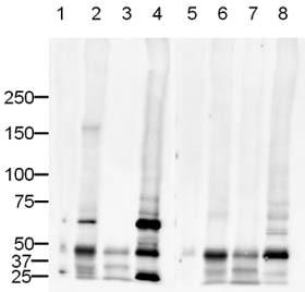 Western blot - Human PTP lambda/FMI peptide (ab13230)