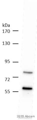 Western blot - Anti-SYN2 antibody (ab13258)
