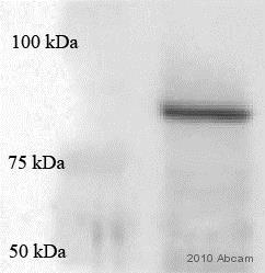Immunoprecipitation - Anti-Hsp90 antibody [AC88] (ab13492)