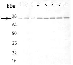 Western blot - Anti-Hsp90 antibody [AC88] (ab13492)