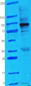 Western blot - Anti-Hsp90 antibody (ab13495)