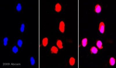 Immunocytochemistry/ Immunofluorescence - Anti-Hsp90 antibody (ab13495)