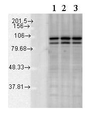 Western blot - Anti-Calnexin - ER membrane marker antibody - ER Marker (ab13504)
