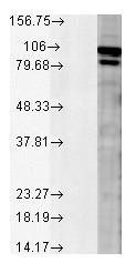 Western blot - Anti-Calnexin antibody (ab13505)