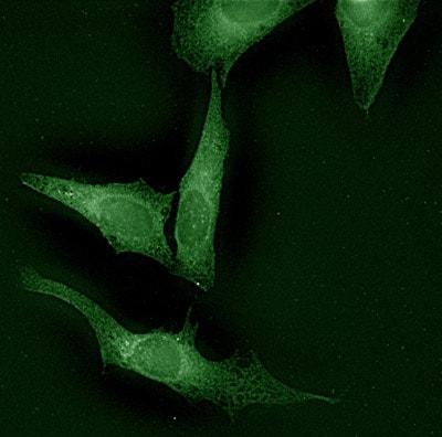 Immunocytochemistry/ Immunofluorescence - Anti-Calnexin antibody (ab13505)