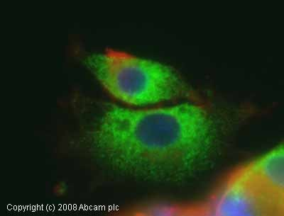 Immunocytochemistry/ Immunofluorescence - Anti-GRP94 antibody (ab13509)