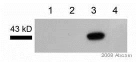 Western blot - Anti-CD40 antibody (ab13545)