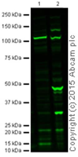 Western blot - Anti-Caspase-3 antibody [31A1067] (ab13585)