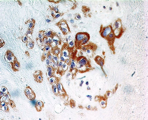Immunohistochemistry (Formalin/PFA-fixed paraffin-embedded sections) - Anti-TNFAIP3 antibody [59A426] (ab13597)