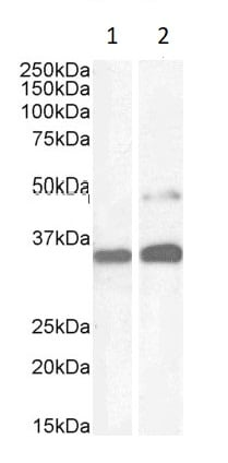 Western blot - Anti-PAX8 antibody (ab13611)