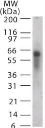 Western blot - Anti-ASB3 antibody (ab13715)
