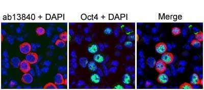 Immunohistochemistry (Frozen sections) - Anti-DDX4 / MVH antibody (ab13840)