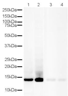 Western blot - Human Histone H4 peptide (ab13843)
