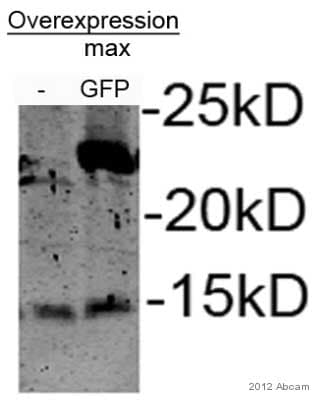 Western blot - Anti-GFP antibody (ab13970)