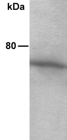 Western blot - Anti-AKT2 antibody (ab13991)