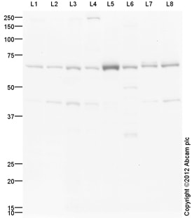 Western blot - Anti-TCF-4 antibody (ab130014)