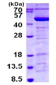SDS-PAGE - Recombinant Human Tropomodulin 3 protein (ab130027)