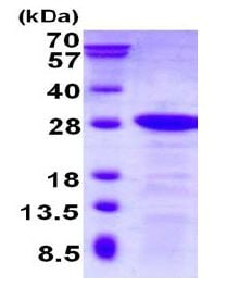 SDS-PAGE - Recombinant Human DBNDD2 protein (ab130032)