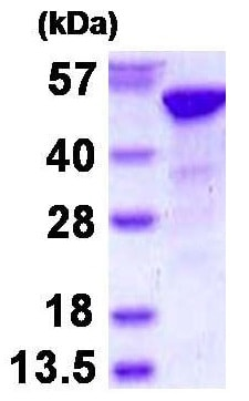 SDS-PAGE - Recombinant Human RbAp48 protein (ab130037)