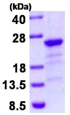 SDS-PAGE - Recombinant Human HBXIP protein (ab130038)