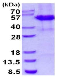 SDS-PAGE - Recombinant Human CstF-50 protein (denatured) (ab130044)