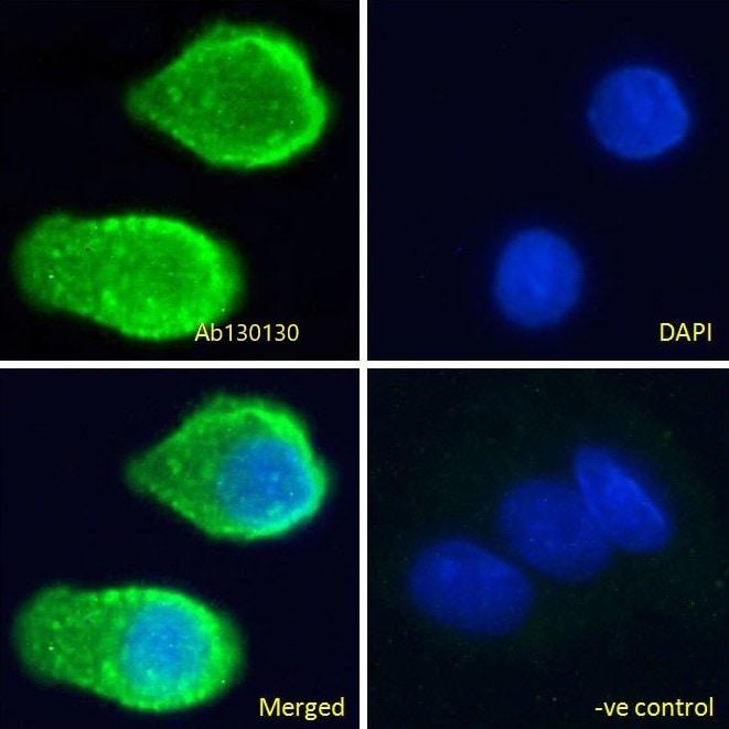 Immunocytochemistry - Anti-Serotonin transporter antibody (ab130130)