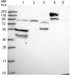 Western blot - Anti-SLC38A9 antibody (ab130398)