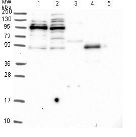 Western blot - Anti-Spir-1 antibody (ab130403)