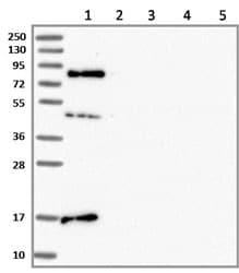 Western blot - Anti-SRRM5 antibody (ab130406)