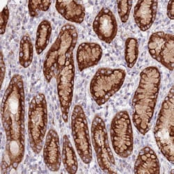 Immunohistochemistry (Formalin/PFA-fixed paraffin-embedded sections) - Anti-SRRM5 antibody (ab130406)