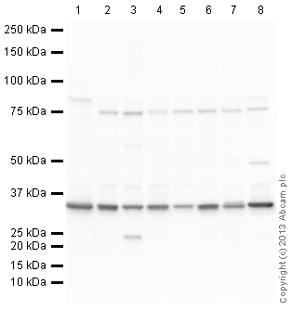 Western blot - Anti-Lactate Dehydrogenase antibody (ab130923)