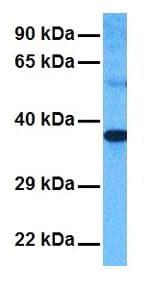 Western blot - Anti-GPCR GPR43 antibody (ab131003)