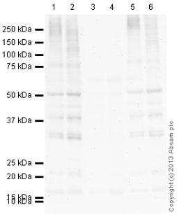 Western blot - Anti-Phospho Serine/Threonine Chk1/Chk2 substrate antibody (ab131023)