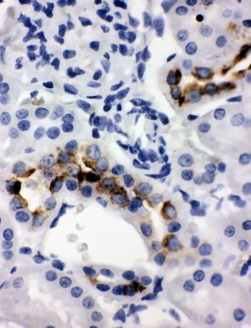 Immunohistochemistry (Formalin/PFA-fixed paraffin-embedded sections) - Anti-Tissue kallikrein antibody (ab131029)