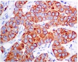 Immunohistochemistry (Formalin/PFA-fixed paraffin-embedded sections) - Anti-Leukotriene B4 Receptor/BLT antibody [EPR7113] (ab131041)