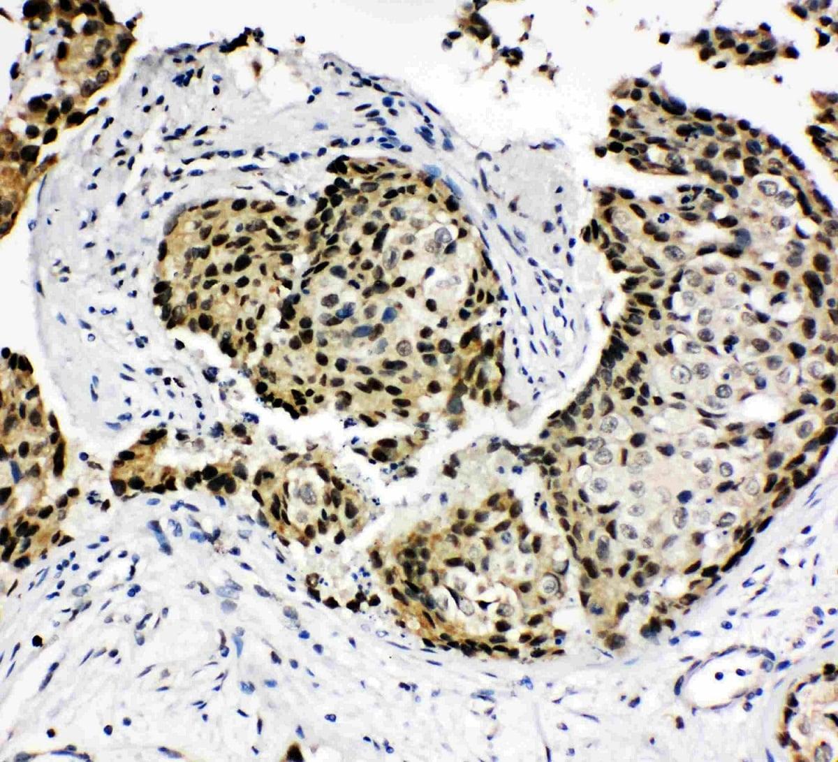 Immunohistochemistry (Formalin/PFA-fixed paraffin-embedded sections) - Anti-HOXA4 antibody (ab131049)