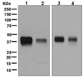 Western blot - Anti-CD32 antibody [EP6243] (ab131051)