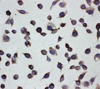 Immunocytochemistry - Anti-Cystathionase/CTH antibody (ab131052)