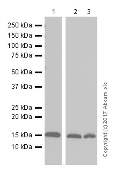 Western blot - Anti-MGST1 antibody [EPR7934] (ab131059)