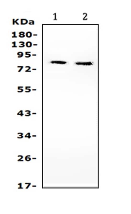 Western blot - Anti-PI 3 Kinase p85 beta antibody (ab131067)